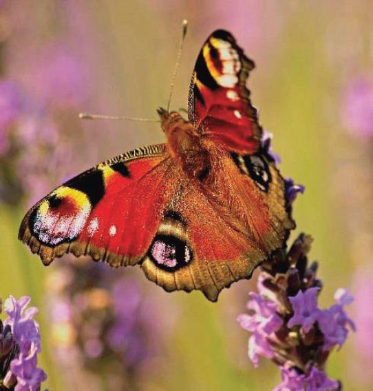 peacock butterfly in lavender